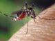 Mücke beim Blutsaugen